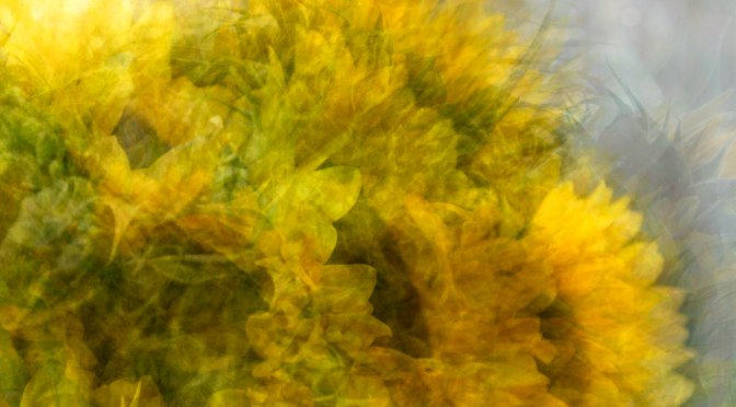 photo impressionistic image of sunflowers in the round
